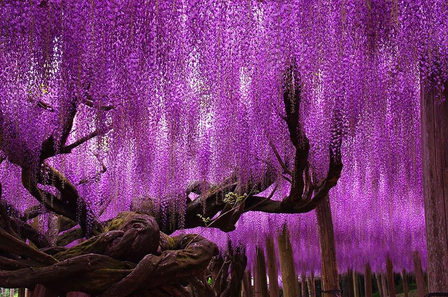Amazing Wisteria Tree