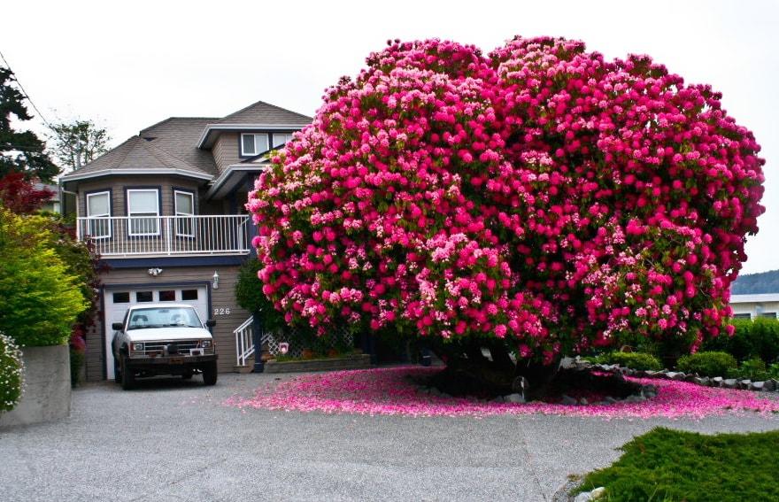 Beautiful Rhododendron Tree