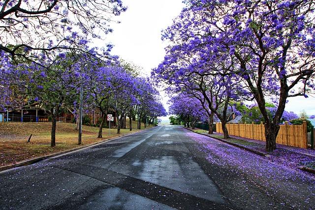beautiful trees Jacaranda